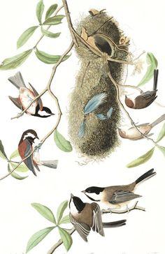 Chesnut-backed Titmouse, Black-capt Titmouse, Chesnut-crowned Titmouse   Audubon