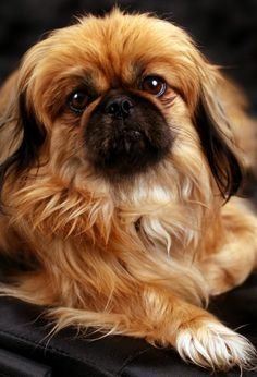 Onion Poisoning in Dogs - Watch Out What your Feed your Pekingese