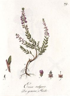Calluna vulgaris heather botanical print