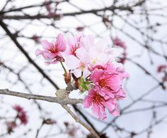 Cherry Blossoms in Balboa Park's Japanese Friendship Garden