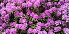 Ροδόδεντρο, λουλούδι από τα Ιμαλάια Flower Aesthetic, Aesthetic Images, Flower Art Images, Areas Of Life, Flower Wallpaper, Flower Girl Dresses, How To Plan, Flowers, Plants