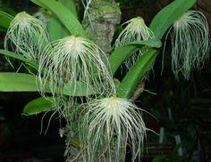 Bulbophyllum Orchidaceae | Orchid4u - ANSELLIA AFRICANA & BULBOPHYLLUM