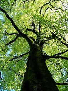 Beech tree, Buxton, Derbyshire
