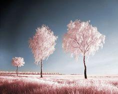 Infrared Photography (Truffala Trees)