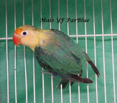 African Lovebirds Mutations Fischer mutation lovebirds february 2013 whisperun aviary