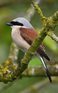 Red-backed Shrike. This bird breeds in most of Europe and western Asia and winters in tropical Africa