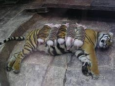 The veterinarians felt that the loss of her litter had caused the tigress to fall into a depression.     The doctors decided that if the tigress could surrogate another mother's cubs, perhaps she would improve.     After checking with many other zoos across the country,  the depressing news was that there were no tiger cubs of the right age to introduce to the mourning mother..