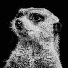 Meerkat   Melissa Helene Fine Arts + Photography www.melissahelene.com 5x5 #scratchboard #wildlife #artwork #meerkat #blackandwhite