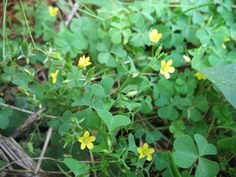 Wood sorrel gets mistaken for clover because of its three leaves. They are found in grassy areas and the edges of woods. Also called sourgrass because  of its oxalic acid content, it tastes citrisy and refreshing.