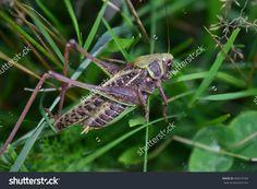 beautiful, colorful, ecology, fauna, flora, grasshopper, green, huge