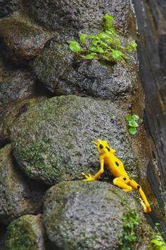 Endangered Golden Frog in El Valle Panama Zoo
