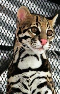 ocelot. However beautiful the models are the cats beat them hands down.