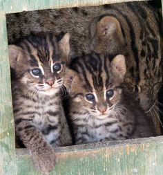 Fishing cat kittens!