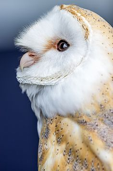 Birds of Prey - Barn Owl portrait.