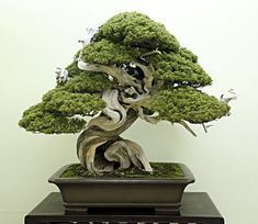 Award winning Sargent juniper bonsai in the Moyogi/ takichi style.