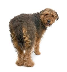 Airedale Terrier no grooming. When we had Airedales, they started looking like teddy bears when we let their hair grow out.