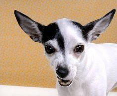 Chihuahua Lulu