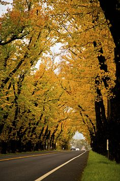 tunnel of elms - saint helena, napa valley © Carolyn Corley Burgess