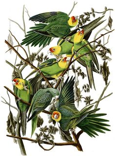 Extinct Carolina parakeet gives glimpse into evolution of American parrots  DNA obtained for the first time from extinct Carolina parakeets reveals their closest relatives and provides insight into the evolution of New World parrots