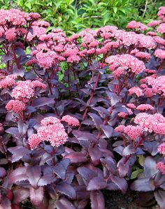 It is hardy and forgiving! Drought tolerant, poor soil, winter hardy. Perennial Sedum 'Purple Emperor' | Annie's Annuals