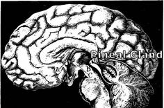 Pineal Gland Third Eye