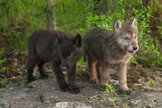 Blue-Eyed Baby – A wolf pup has blue irises that will change to a yellow-gold or orange color when they are between 8 and 16 weeks. Blue Eyed Baby, Baby Wolves, Wolf Pup, Amphibians, Reptiles, Wolf Wallpaper, Predator, 16 Weeks, Blue Eyes