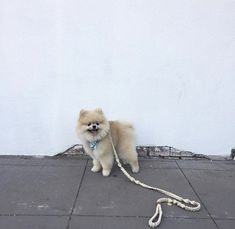 Iggy the #Pomeranian after his DOGUE groom