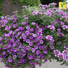 Eine violette Farbenwelt auf dem Balkon wird mit dieser Kombination möglich >>Verbene 'Samira Purple Wing', Zauberglöckchen 'Calita Double Blue', Wolfsmilch 'Snow Mountain'