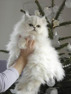 Persian Cat White races chiens chats e - Pretty Cats, Beautiful Cats, Animals Beautiful, Cute Kittens, I Love Cats, Crazy Cats, White Cats, White Persian Cats, Black Cats