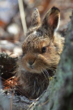 The snowshoe hare one of our commonest forest mammals, is found only in North America. Animals And Pets, Baby Animals, Cute Animals, Funny Bunnies, Cute Bunny, Hunny Bunny, Beautiful Creatures, Animals Beautiful, Reptiles
