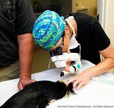 Enquanto pinguins ganham a chance de enxergar melhor, tartarugas marinhas recebem cuidados em seus cascos A equipe veterinária do SeaWorld está constantemente trabalhando para inovar nos tratamentos dos animais, sejam eles resgatados ou moradores dos parques. Os especialistas em cuidados animais já criaram mamadeiras...