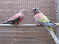 Breeding pairs - Ron's Grass Parakeets