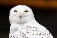 Snowy Owl [5472x3648][OC]