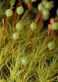 sporophytes