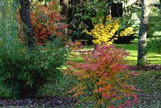 3-acer-palmatum-en-octobre