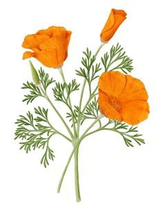 california poppy botanical illustration - Google Search