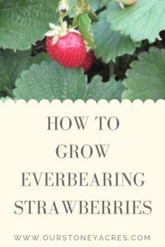 Potager Garden If you love strawberries, why not grow your own? Everbearing strawberries produce a continuous harvest of sweet medium-sized berries from late spring until the first freeze of winter! They are a great option for every backyard garden! Backyard Vegetable Gardens, Fruit Garden, Strawberry Garden, Garden Plants, Garden Hoe, Potager Garden, Veg Garden, Garden Office, Outdoor Gardens