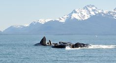 Feeding time for the whales! Meet more of Alaska's animals: https://www.facebook.com/media/set/?set=a.174164916066620.1073741825.113860732097039=1