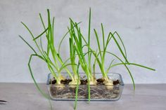 A super simple How-To for growing spring onions at home from food scraps, to re-use numerous times! Two methods that can both be done indoors, with little space and mess and no onion seeds necessary! Growing Spring Onions, Types Of Onions, Spring Breakers, Spring Nail Colors, Spring Rolls, Edible Flowers, Spring Flowers, Growing Vegetables