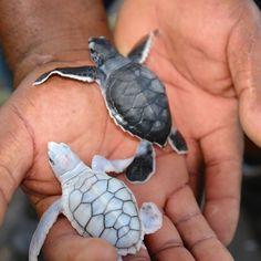 Albino turtle.