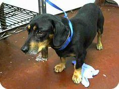 ■6/8/16 ■■ACT QUICKLY ■■■Atlanta, GA - purebred Dachshund dog to adopt, MABEL, a small adult female. http://www.adoptapet.com/pet/15718962-atlanta-georgia-dachshund