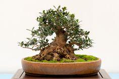 Olive tree BIB 13th Annual Exhibit - Dupuich's Photos