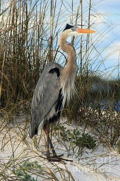 A Great Blue Heron Stands On The Shores Of Perdido Key At Gulf Islands National Seashore In Florida. Photo By Adam Jewell.