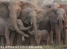 """When elephants are drawing themselves together to face a perceived threat, they also reach out to touch one another - often reaching their trunks toward one another's mouth as if to say, """"I am here for you"""". It is similar to a gesture we would make with our arms. National Geographic Gorongosa National Park PBS WildiZe Foundation Bob Poole Films"""