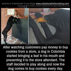 "unbelievable-facts: ""After watching customers pay money to buy cookies from a store, a dog in Colombia started bringing a leaf in his mouth and presenting it to the store attendant. The staff decided to play along and now the dog comes to buy cookies..."