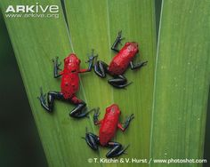 Strawberry poison frogs, dorsal view
