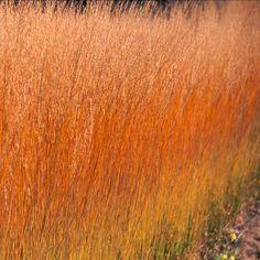 MOLINIA caerulea 'Heidebraut' (Molinie) : Graminée adaptée au sol ordinaire plutôt frais, remarquable par la légèreté de ses inflorescences, bien détachées du feuillage souple, en touffe compacte. Feuillage fin vert glauque devenant jaune roux à l'automne. Epis bien droits et dorés.