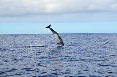 #Azores #SaoMiguel #dolphin