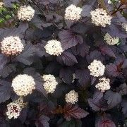 (15/12/2017) Physocarpus opulifolius 'Diabolo' added by Shoot)