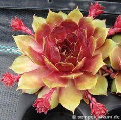 Sempervivum 'Popocatepetl'